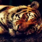 I tigrovi zaraženi korona virusom 1