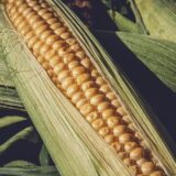 Stručnjaci: U Srbiji ove godine do 50 odsto manje kukuruza 7