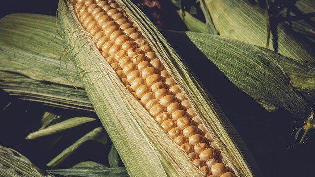 Stručnjaci: U Srbiji ove godine do 50 odsto manje kukuruza 1