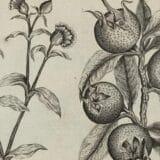 Hrana i istorija: Mušmule - zaboravljeno srednjovekovno voće nepristojnog imena 17