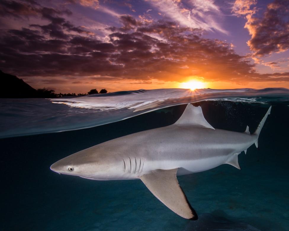 Leđno peraje crne grebenaste ajkule - Carcharhinus melanopterus - u ravni sa suncem u Francuskoj Polineziji