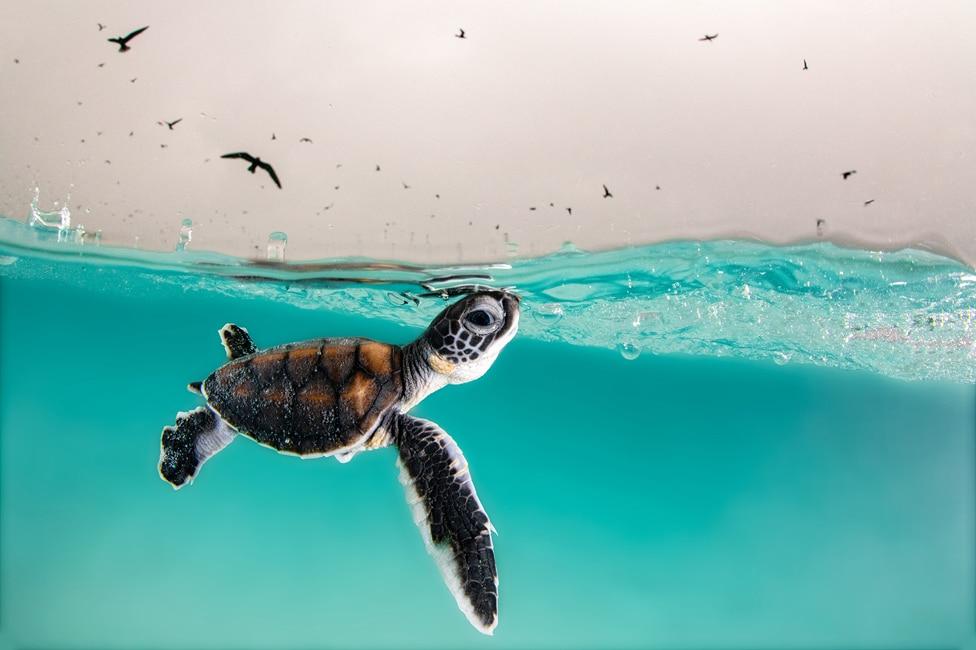Mladunče zelene morske kornjače izranja na površinu kako bi uzelo vazduh ma australijskom ostrvu Heron