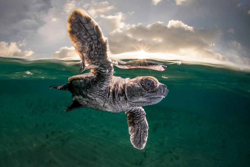 Jastreb kornjača izranja iz vode