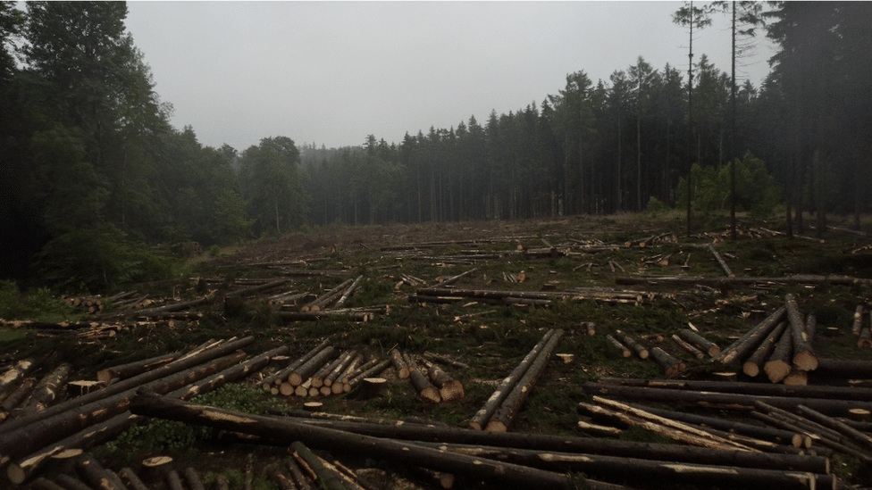 Climate change is blamed for the devastation wrought by the bark beetle in the Harz region