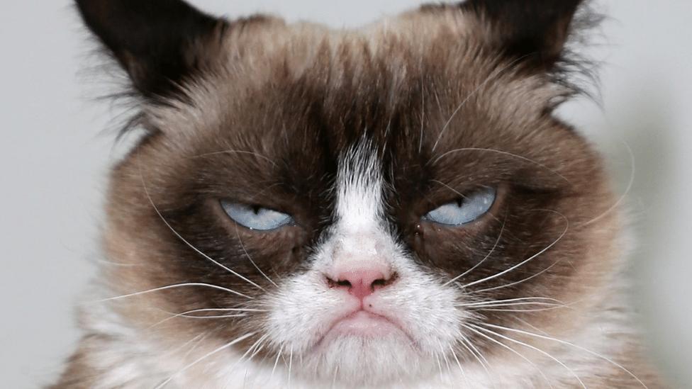 Grumpy Cat, staring down the lens