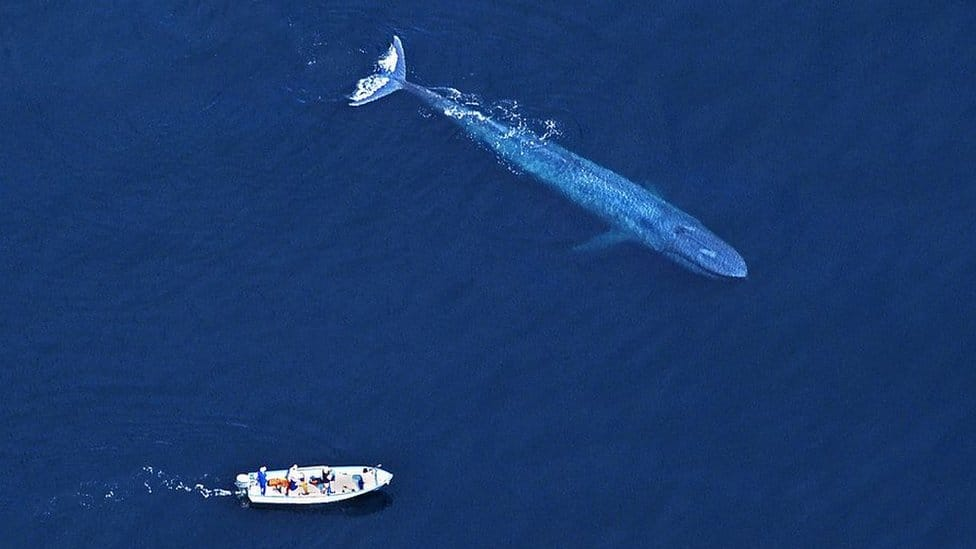 Blue whale and boat