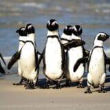 Pingvini u Južnoj Africi: Pčele pokosile ugroženu vrstu nastanjenu u blizni Kejptauna 15