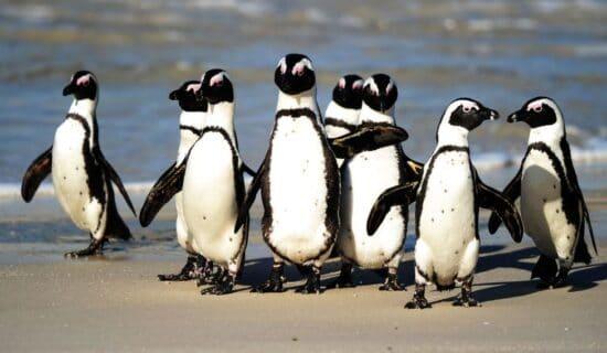 Pingvini u Južnoj Africi: Pčele pokosile ugroženu vrstu nastanjenu u blizni Kejptauna 11