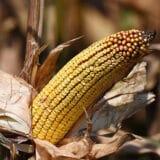 Suša prepolovila rod, ali će kukuruza biti dovoljno za sve 4