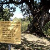 Džinovski hrast kod Bele Palanke nema deblo, ali lista 1