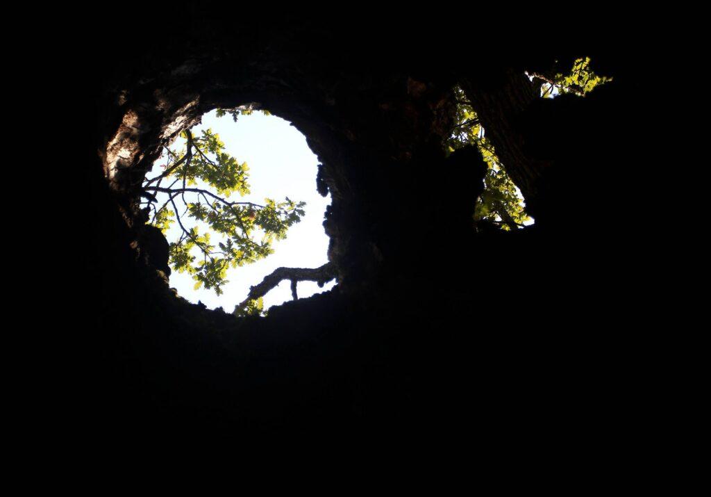 Džinovski hrast kod Bele Palanke nema deblo, ali lista 2
