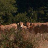 Aktivisti traže cisterne za krave i konje koji umiru od žeđi na Suvoj planini 4