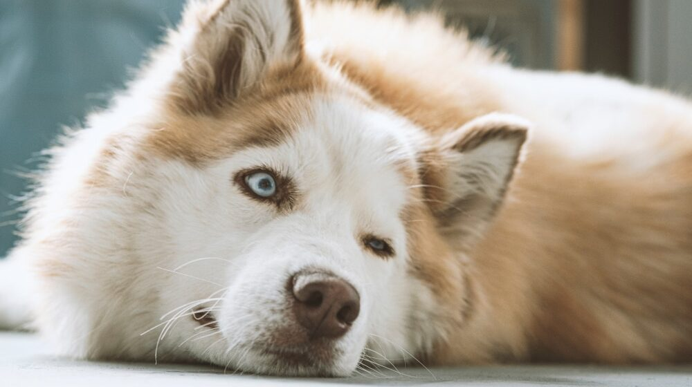 Šta je to ulcer rožnjače kod pasa i kako se leči? 1