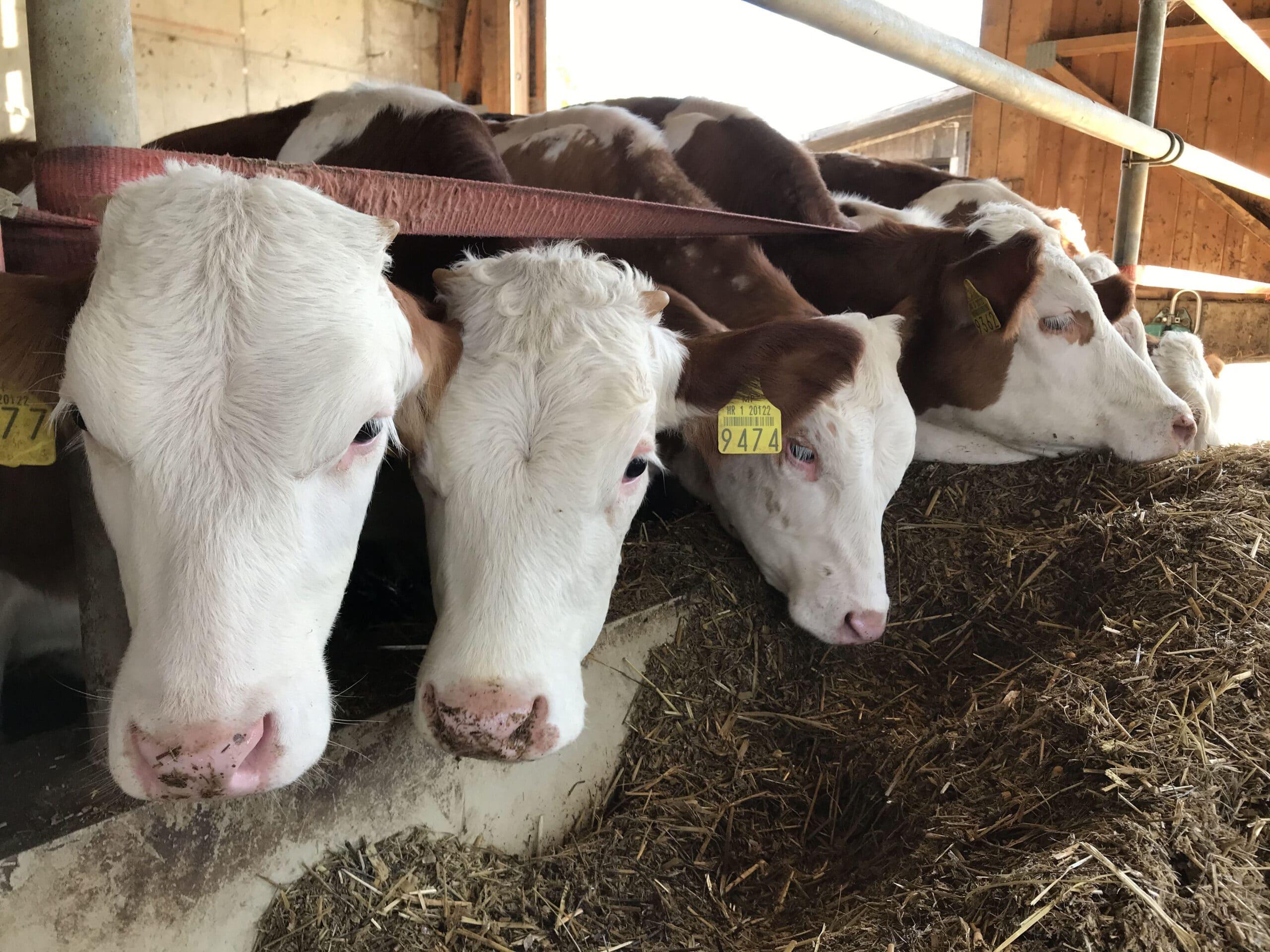 Iskustvo Hrvatske: Kako su mlekari doživeli krah i pre EU 3