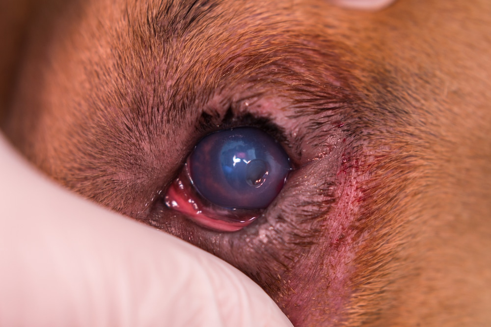 Šta je to ulcer rožnjače kod pasa i kako se leči? 2