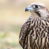 U Evropi svakoj petoj vrsti ptica preti izumiranje 1