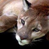 Puma, smatrana izumrlom vrstom u Rio de Žaneiru, ponovo viđena 12