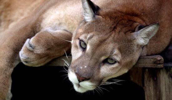 Puma, smatrana izumrlom vrstom u Rio de Žaneiru, ponovo viđena 13